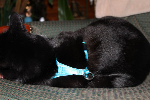 Cat Back of the Easy On-Off No Pull Harness