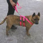 Tuff N Huff No Pull Harness in Neon Hot Pink