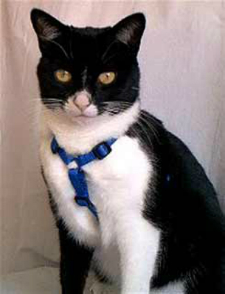 Easy On-Off No Pull Cat Harness - Royal Blue