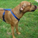 EZ Dog Harness and DH Leash - Royal Blue