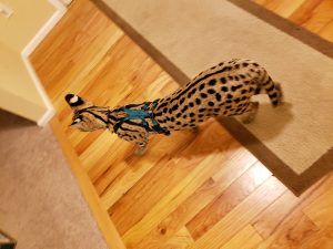 Ocelot_Serval No Pull Harness - Remington - Back View