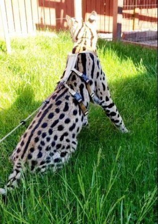 Ocelot/Serval No Pull Harness