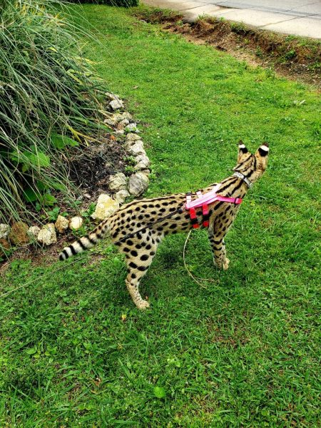 Serval in Neon Hot Pink