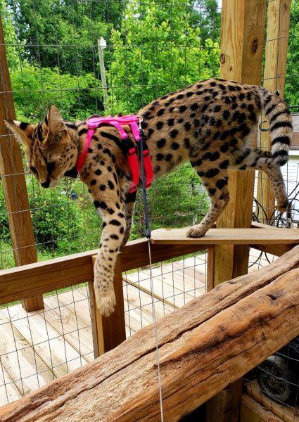 Large Standard Ocelot/Serval Harness