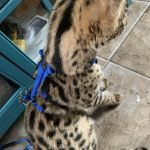 Custom Small Ocelot/Serval No Pull Harness