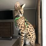 Ocelot/Serval No Pull Harness