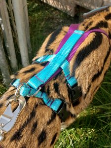 Titan Ocelot/Serval No Pull Harness Set with matching Dual Handle Leash.
